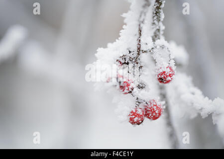 rowanberries covered with snow frost - Stock Photo