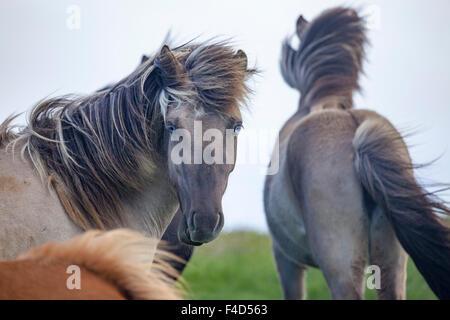 Blue eyed Icelandic horse, Nordhurland Vestra, Iceland. - Stock Photo