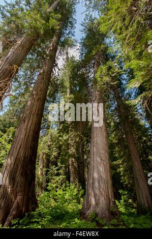 Western Red Cedar Trees Ross Cedar Grove Near Libby