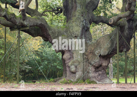 Major Oak, Sherwood Forest, supported with metal props.  Nottinghamshire - Stock Photo