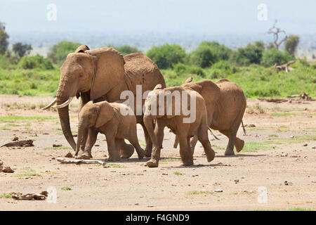 A family of African Elephants in Amboseli National Park in Kenya. - Stockfoto