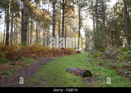 Misty early morning walk in the wood forest - Stock Photo