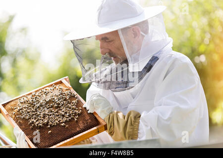 Beekeeper in protective suit examining bees on honeycomb - Stock Photo