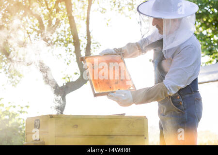 Beekeeper in protective clothing examining bees on honeycomb - Stock Photo