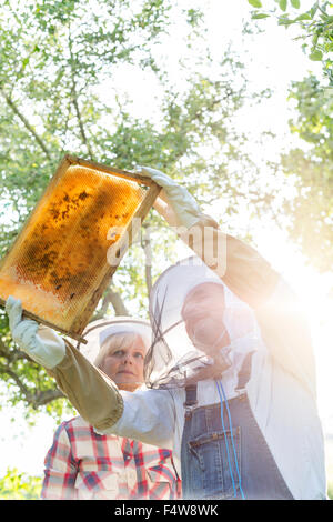 Beekeepers in protective clothing examining bees on honeycomb - Stock Photo