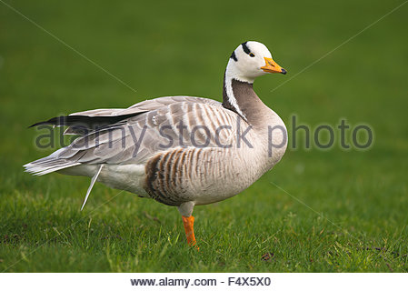 A Bar-headed Goose (Anser indicus) standing on one foot in a City Park - Stock Photo