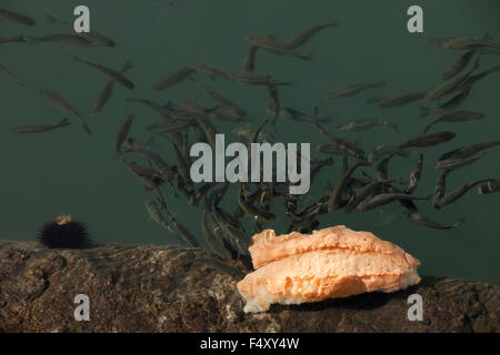 Common grey mullet or flathead mullet mugil cephalus for Eating mullet fish