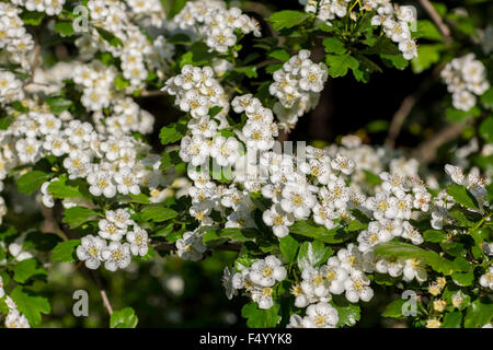 White flowers of the cherry blossoms on a spring day in the park - Stock Photo