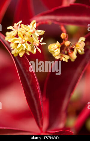 Boston ivy  (Parthenocissus tricuspidata) with flower - Stock Photo