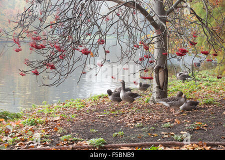 London, UK. 01st Nov, 2015. A gaggle of Geese under a tree hanging with red berries on a misty autumn morning by - Stock Photo