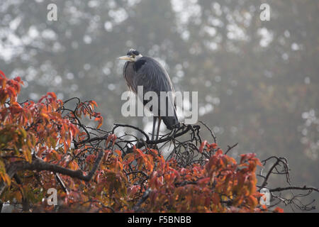 London, UK. 01st Nov, 2015. A heron in a tree with red and gold autumn leaves in St James's Park on a foggy morning - Stock Photo