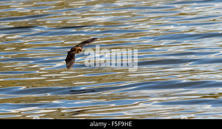 Bat Flying over water - Stock Photo