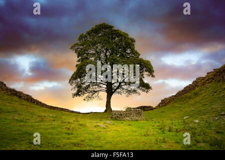 Sycamore Gap near Haltwistle on  Hadrians Wall - Stock Photo