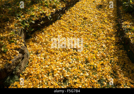 A garden path covered in fallen golden leaves from a Gingko tree - Stock Photo