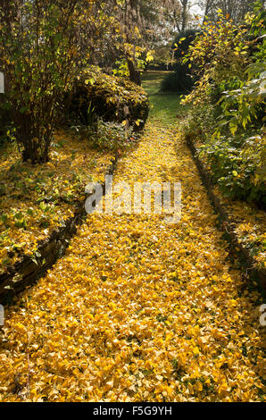 Fallen leaves from a Ginkgo tree in an English garden - Stock Photo