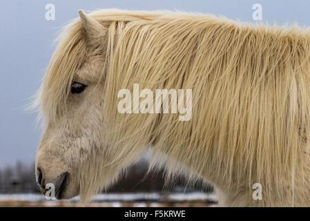 Icelandic horse portrait, Selfoss, Iceland southern - Stock Photo