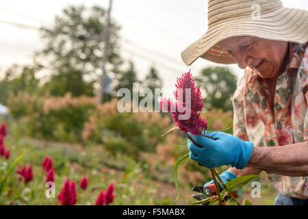 Senior woman harvesting and trimming flowers on farm - Stock Photo