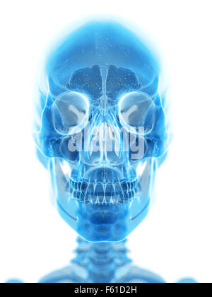 medically accurate illustration of the human skull - Stock Photo