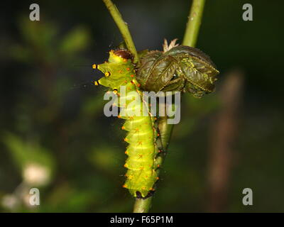 Prickly caterpillar on a plant.  Indian moon moth or Indian luna moth, Actias selene - Stock Photo