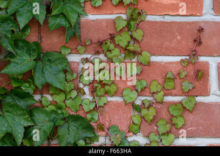 Young red and green leaves from an older plant of Boston ivy, Parthenocissus tricuspidata, cliging to a brick wall, - Stock Photo