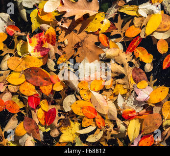 Random pattern of colorful autumn leaves floating in a pool of water. Black background - Stock Photo