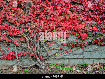 Boston ivy growing over a wall - Stock Photo