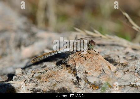 Female Common Darter, Sympetrum striolatum, sunbathing on rock, Andalusia, Spain - Stockfoto