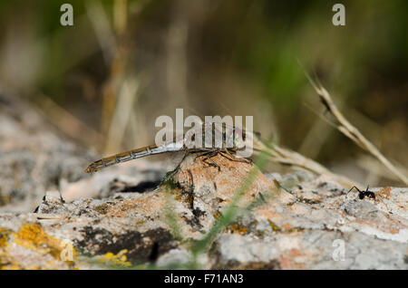 Female Common Darter, Sympetrum striolatum, sunbathing on rock, Andalusia, Spain - Stock Photo