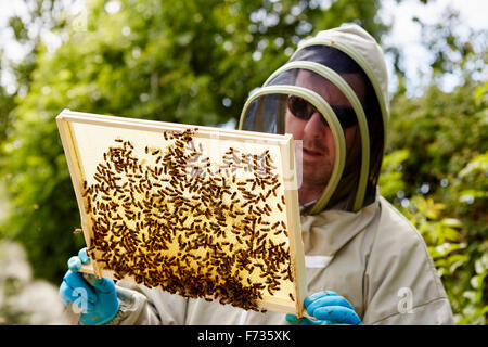 A beekeeper in a suit, holding up a wooden frame covered with bees. - Stock Photo
