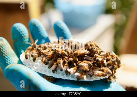 A hand holding a small plastic honeycomb form covered in honey bees. - Stock Photo
