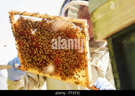 A beekeeper holding up a super frame with worker bees loading the cells in honey. - Stock Photo