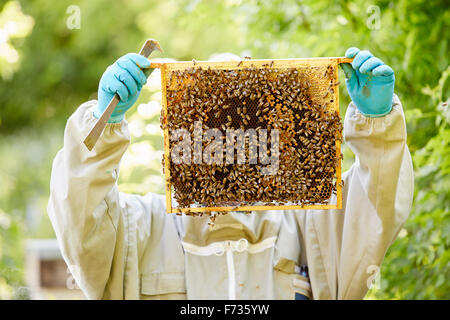 A beekeeper with blue gloves holding up a super or frame full of honey covered in bees. - Stock Photo