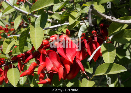 Erythrina crista-galli, often known as the cockspur coral tree, is a flowering tree in the family Fabaceae, native - Stock Photo