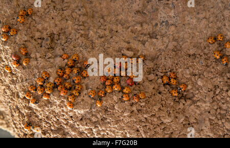 Seven-spot ladybird, Coccinella septempunctata, in dense cluster during mass migration. Lanzarote. - Stockfoto