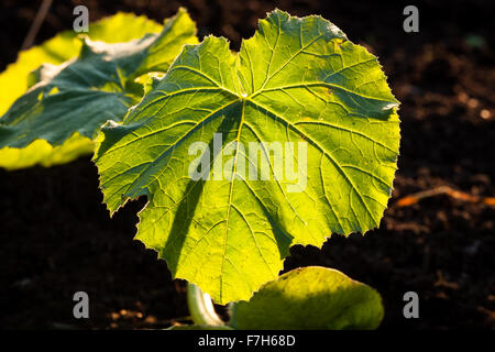 illuminated big leaf veins closeup - Stock Photo