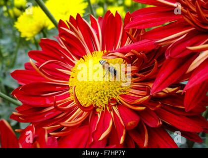 Bee on Red Gebera, Daisy Flower in the Garden - Stock Photo