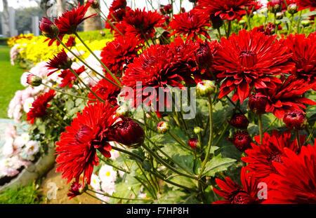 Red Gebera, Daisy Flower in the Garden - Stock Photo