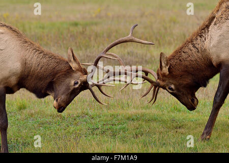 A close up of two young bull elk Cervus elaphus, pushing and shoving during the rut in Jasper National Park in Alberta, - Stock Photo