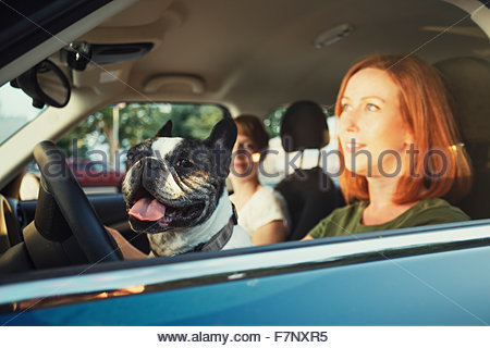 Portrait of French bulldog sitting behind steering wheel in the car of owner - Stock Photo