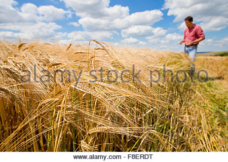 Sunny rural barley crop field in summer with farmer in background - Stock Photo
