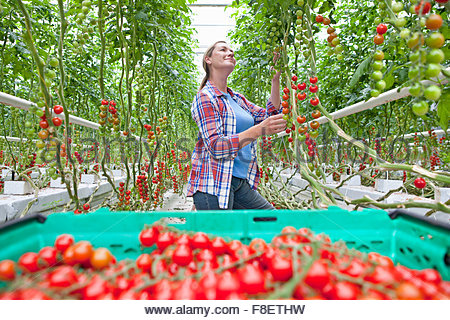 Grower inspecting and harvesting ripe red vine tomatoes in greenhouse - Stock Photo