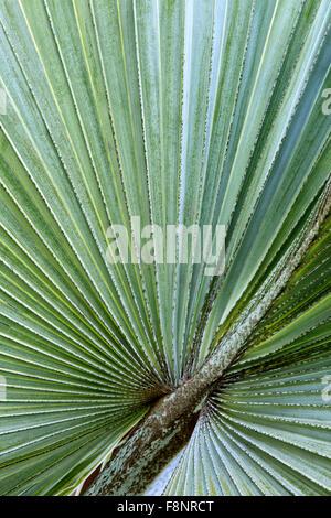 Close-up of Bismarckia nobilis'  palm leaf. - Stockfoto