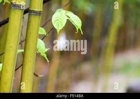 The Asian Bamboo forest with morning sunlight. - Stock Photo
