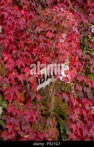 Boston Ivy,  Parthenocissus tricuspidata 'Veitchii' and Virginia creeper, Parthenocissus quinquefolia in autumn; - Stock Photo