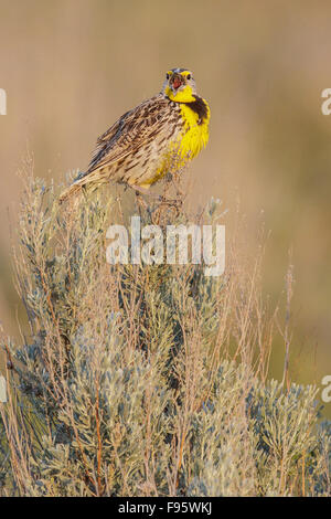 Western Meadowlark (Sturnella neglecta) perched on a branch in central Washington State, USA. - Stock Photo