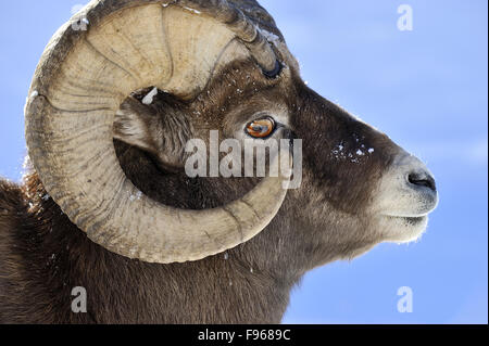 Ram Big Horn >> side view of head with eye of a sheep Stock Photo, Royalty ...