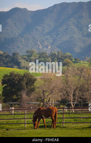 horse in pasture, Alisal Guest Ranch, Solvang, California - Stock Photo