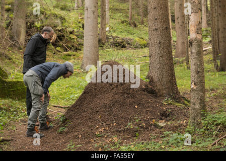 Two mature hikers looking at anthill in forest, Austrian Alps, Carinthia,  Austria - Stock Photo