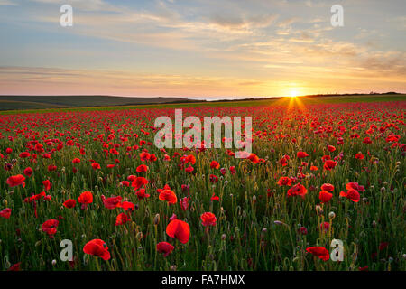 Poppy field in full bloom, Cornwall - Stock Photo