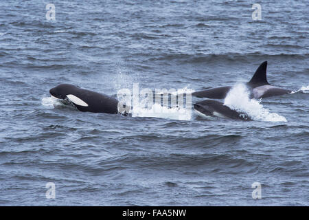 Transient Killer Whale/Orca (Orcinus orca). Three adult females surfacing. Monterey, California, Pacific Ocean - Stock Photo
